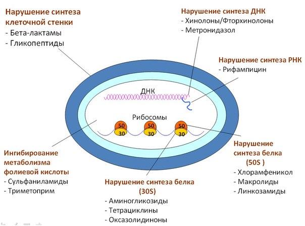 Как определенные группы антибиотиков влияют на клетки в организме.