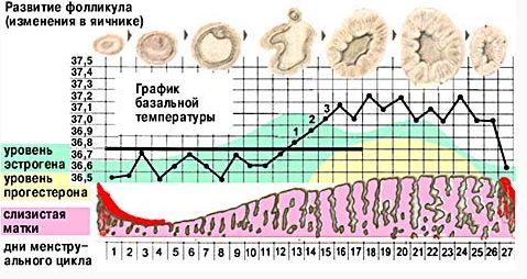 Развитие фолликула и изменение гормонов