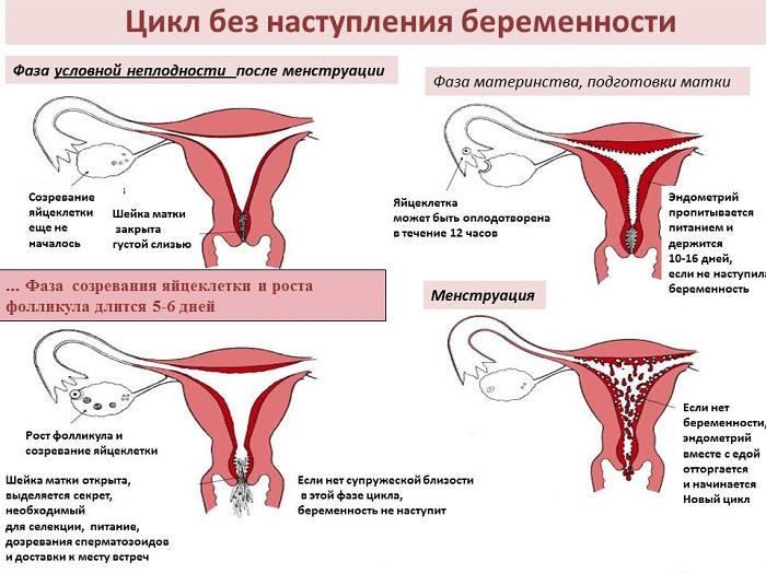 Менструальный цикл женщины в норме