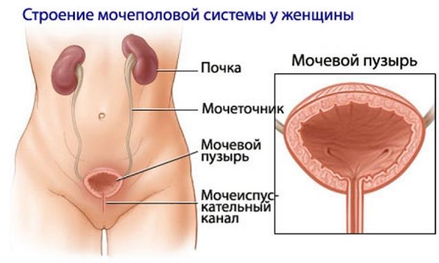 Мочеполовая система у женщин и развитие цистита