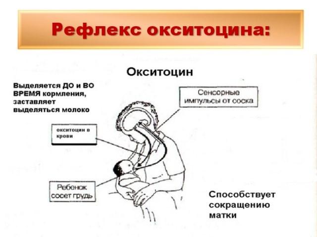 Действие окситоцина после родов