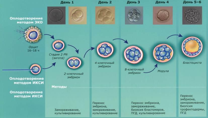 культивирование эмбриона