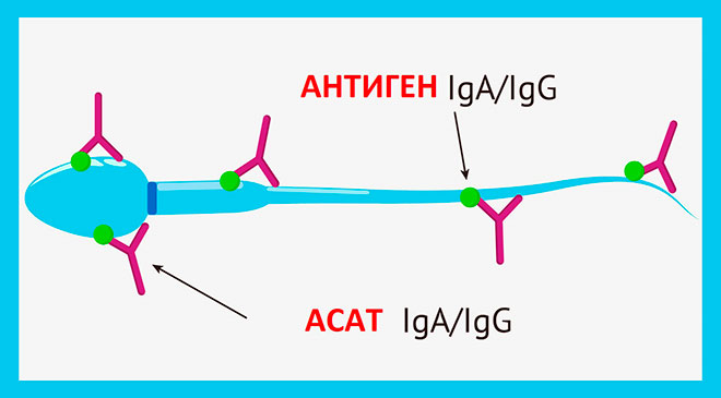 классы антиспермальных антител